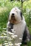 sheepdog among a field of chamomile flowers