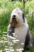 sheepdog among field of chamomile flowers