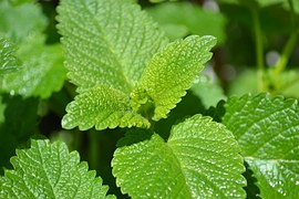 lemon balm plant leaves