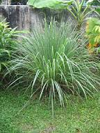 Lemon Grass in Backyard on green lawn in front of stone wall