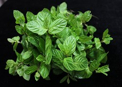 mint leaves plant