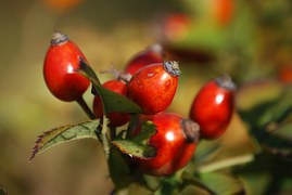 rosehips, fruit of the rose itself with green leaves