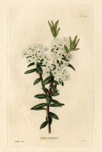 rhododendron or labrador tea plant with white flowers