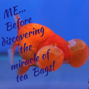 Goldfish with big bulging bubbles underneath eyes needs a tea infused beauty ritual