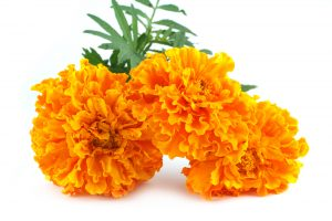 marigold flowers with green leaves