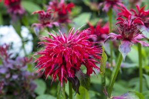 red bee balm flower close-up in a tea garden