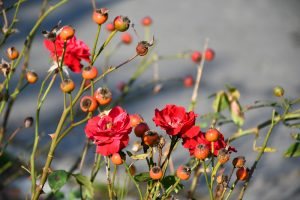 red rose bush with roses and rosehips in a tea garden