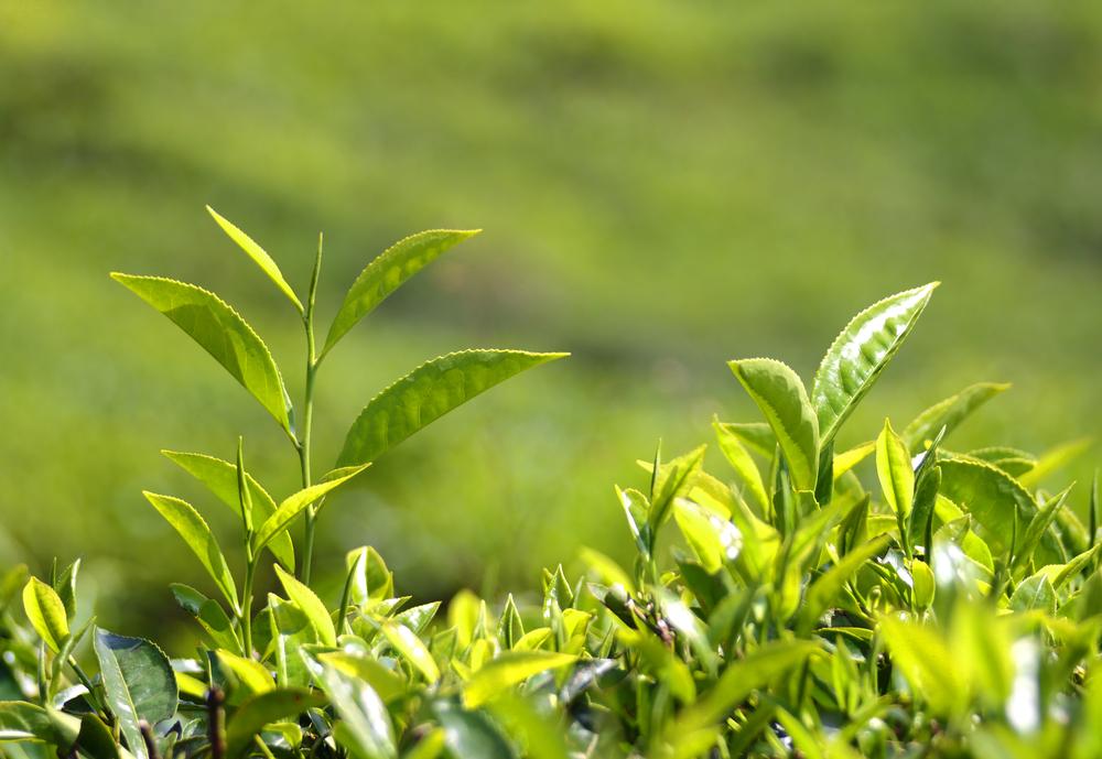 camellia sinensis/tea plant