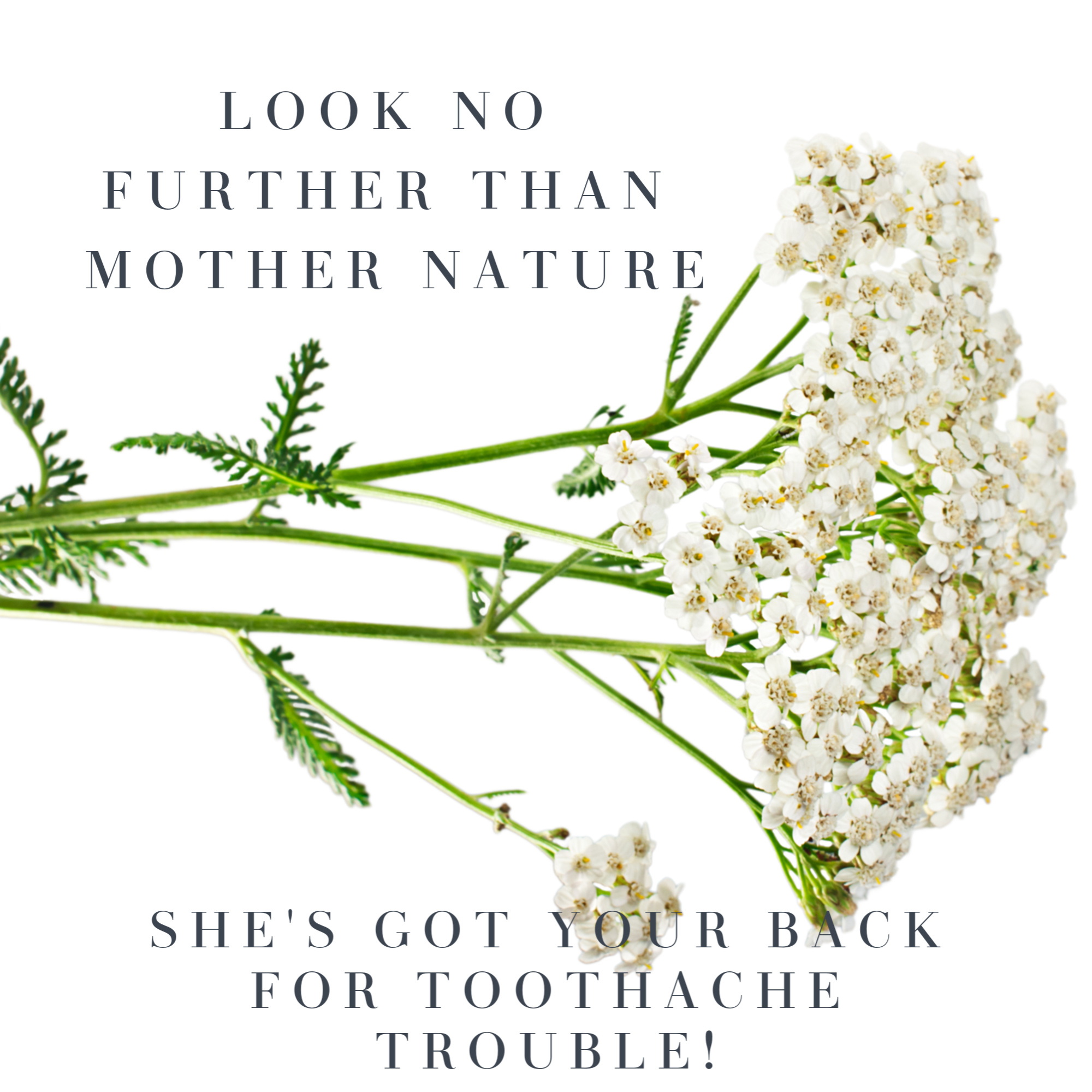 sprig of yarrow for natural toothache relief