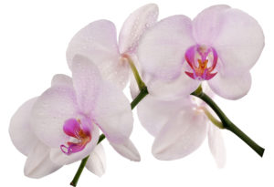 light pink orchids with raindrops
