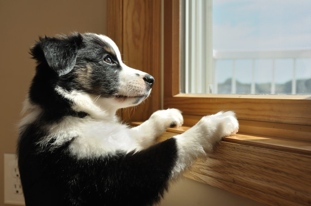 black and white australian shepherd puppy looking out window